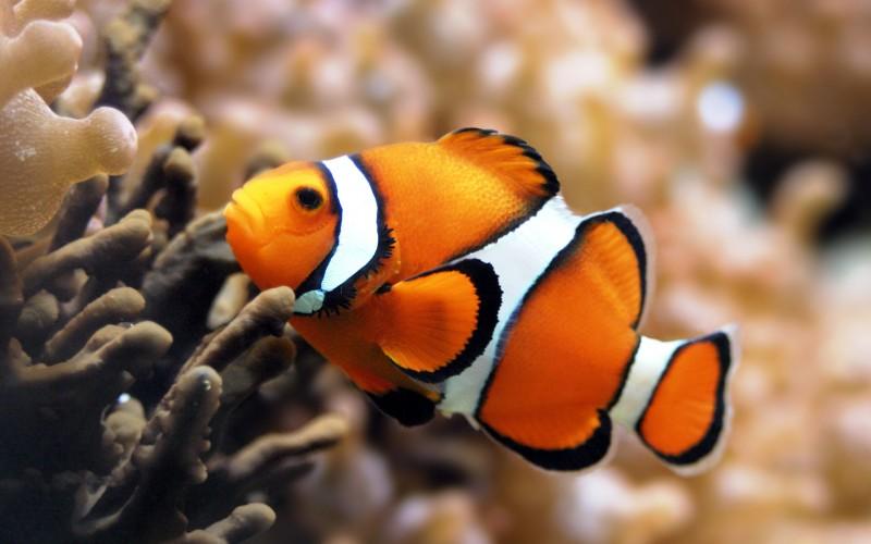 клоун Описание образ жизни содержание в аквариуме Фото рыбы  Описание образ жизни содержание в аквариуме Фото рыбы клоуна