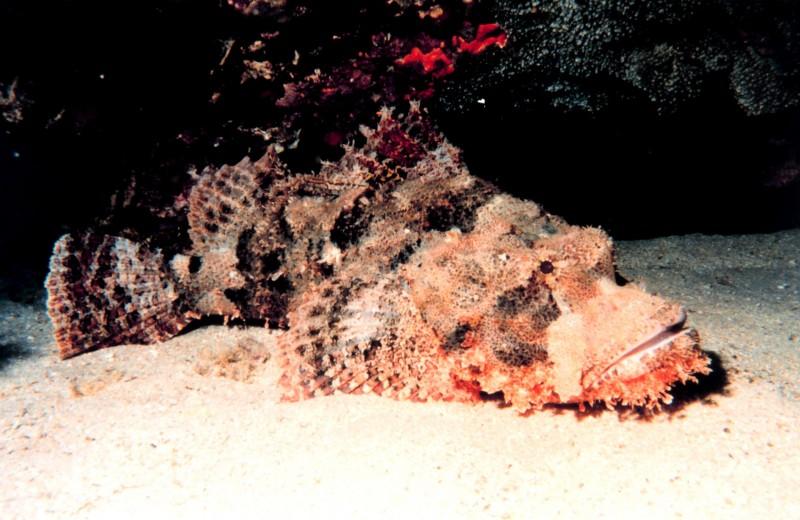 Рыба-камень (бородавчатка)